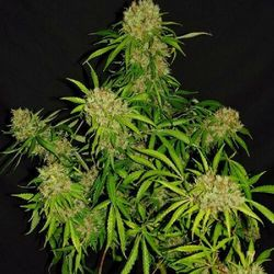White Widow X The Ultimate® - Standaryzowane holenderskie nasiona Passion 10ks