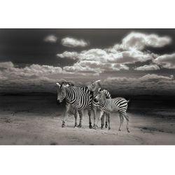 Fototapeta zebry 406