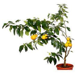 Pomarańcza Bizzarria duży krzew WYPRZEDAŻ