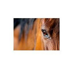Foto naklejka samoprzylepna 100 x 100 cm - Oko zatoki konia arabskiego