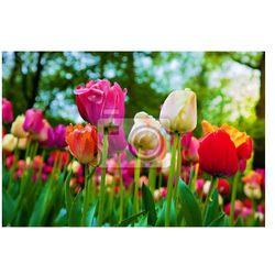 Fototapeta Kolorowe kwiaty tulipanów w parku wiosną, ogród