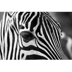Fototapeta zebra 399
