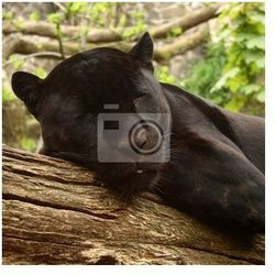Fototapeta Sleeping czarny jaguar, (Bagheera z Jungle książki?)