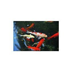 Foto naklejka samoprzylepna 100 x 100 cm - Karpie koi pływanie w stawie