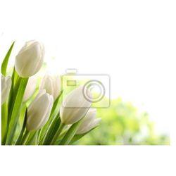 Fototapeta Białe tulipany