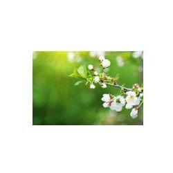 Foto naklejka samoprzylepna 100 x 100 cm - Gałąź kwitnąca śliwa