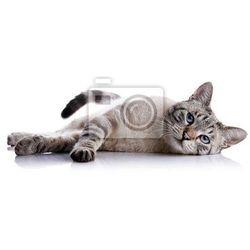 Fototapeta Paski niebieskooki kot leży na białym tle.