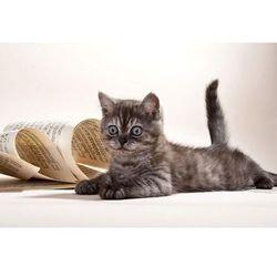 kot leżący obok arkusza z nutami 1605 fototapeta