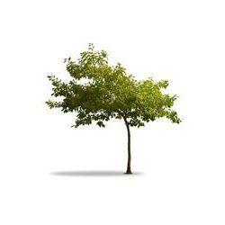 Foto naklejka samoprzylepna 100 x 100 cm - Drzewa i zielone liście na białym - młody dąb