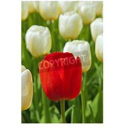 Fototapeta Białe tulipany z jednym czerwonym stojących się.