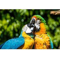 Fototapeta papugi 498