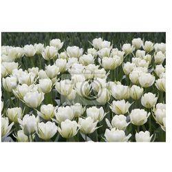 Fototapeta Białe tulipany w parku