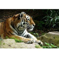Fototapeta tygrys 164