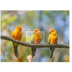 Fototapeta żółte papugi